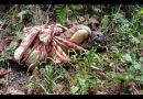 Sesosok Mayat Ditemukan Terbungkus Kain Di Hutan Wolasi